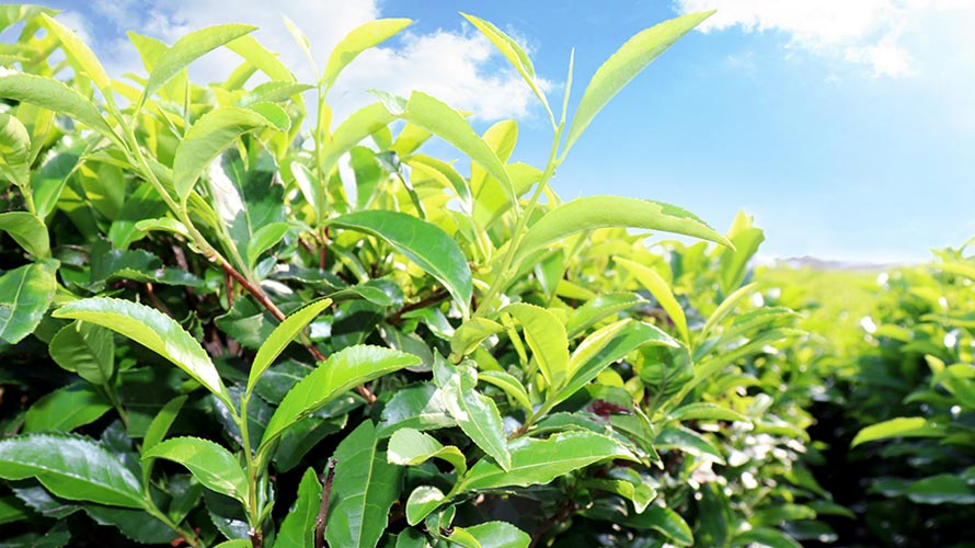八十八夜の意味とお茶摘みの関係についての記事イメージ(アイキャッチ用)