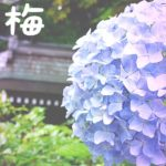 入梅(にゅうばい)とは?<br />-梅雨入りとの違い・語源や豆知識も紹介