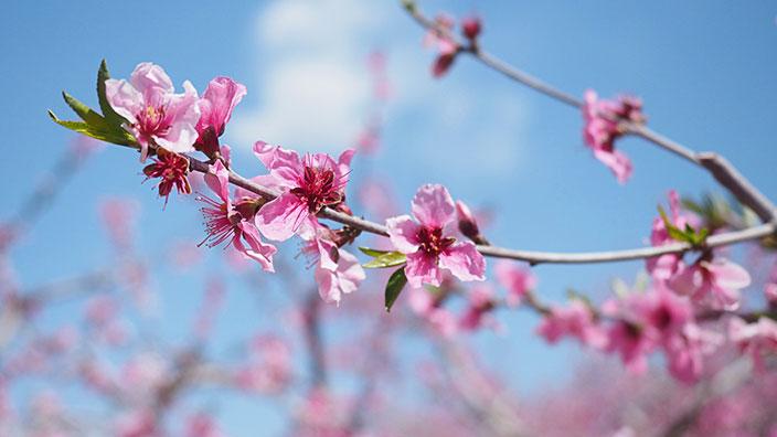 桃の花イメージ