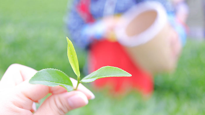 茶摘みイメージ