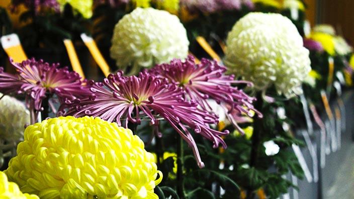 菊の花イメージ