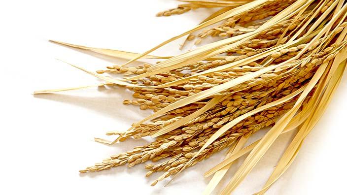 十日夜、稲の収穫イメージ
